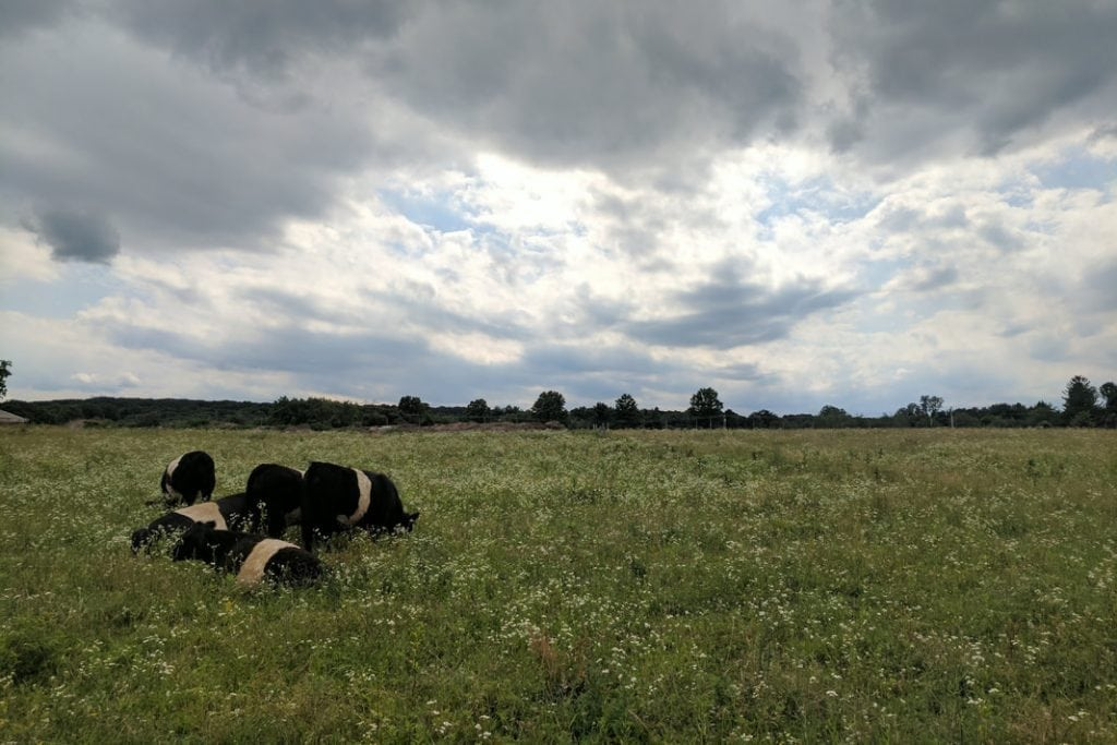 cows laying in field at Toten Family Farm